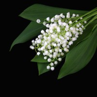 Lily of the valley isolated on black