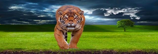 tiger-1100914_960_720