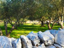 Ancient olive groves in Malinska