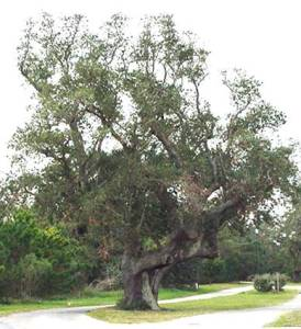 The Cora Tree in Frisco, North Carolina is the subject of an episode of the Travel Channel's 'Monumental Mysteries'.