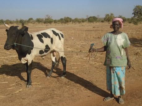 Embouche bovine dans la commune de Dablo