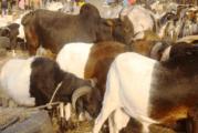 Bradage du bétail, une alternative à l'insécurité alimentaire ?