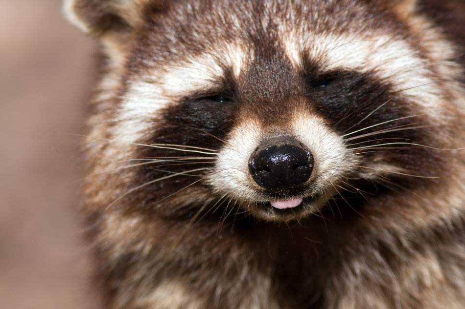What I learned from a rabid raccoon