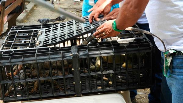 iguanas reubicacion