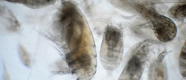 registran microcrustáceos