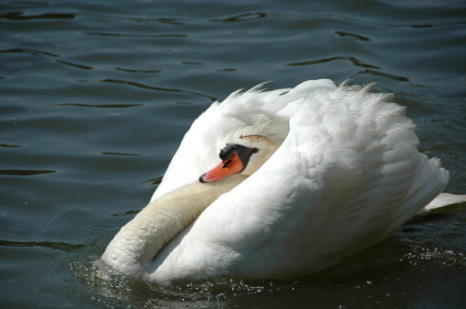 Swan in protective pose