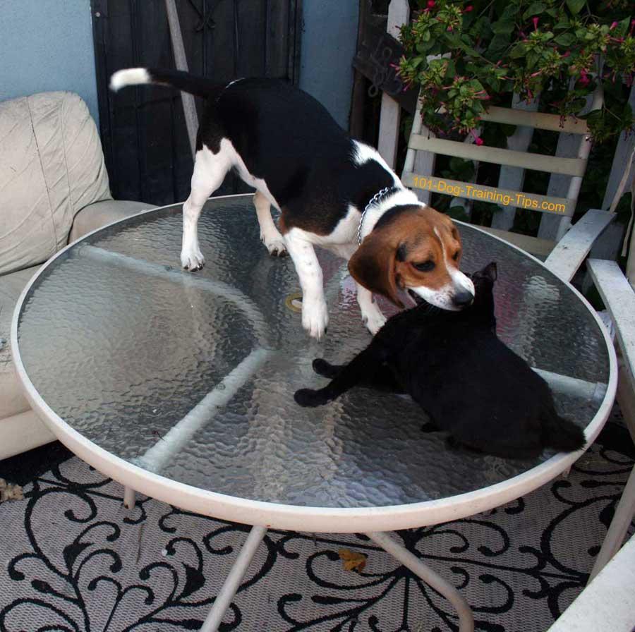 Beagle Training - OC Dog Training