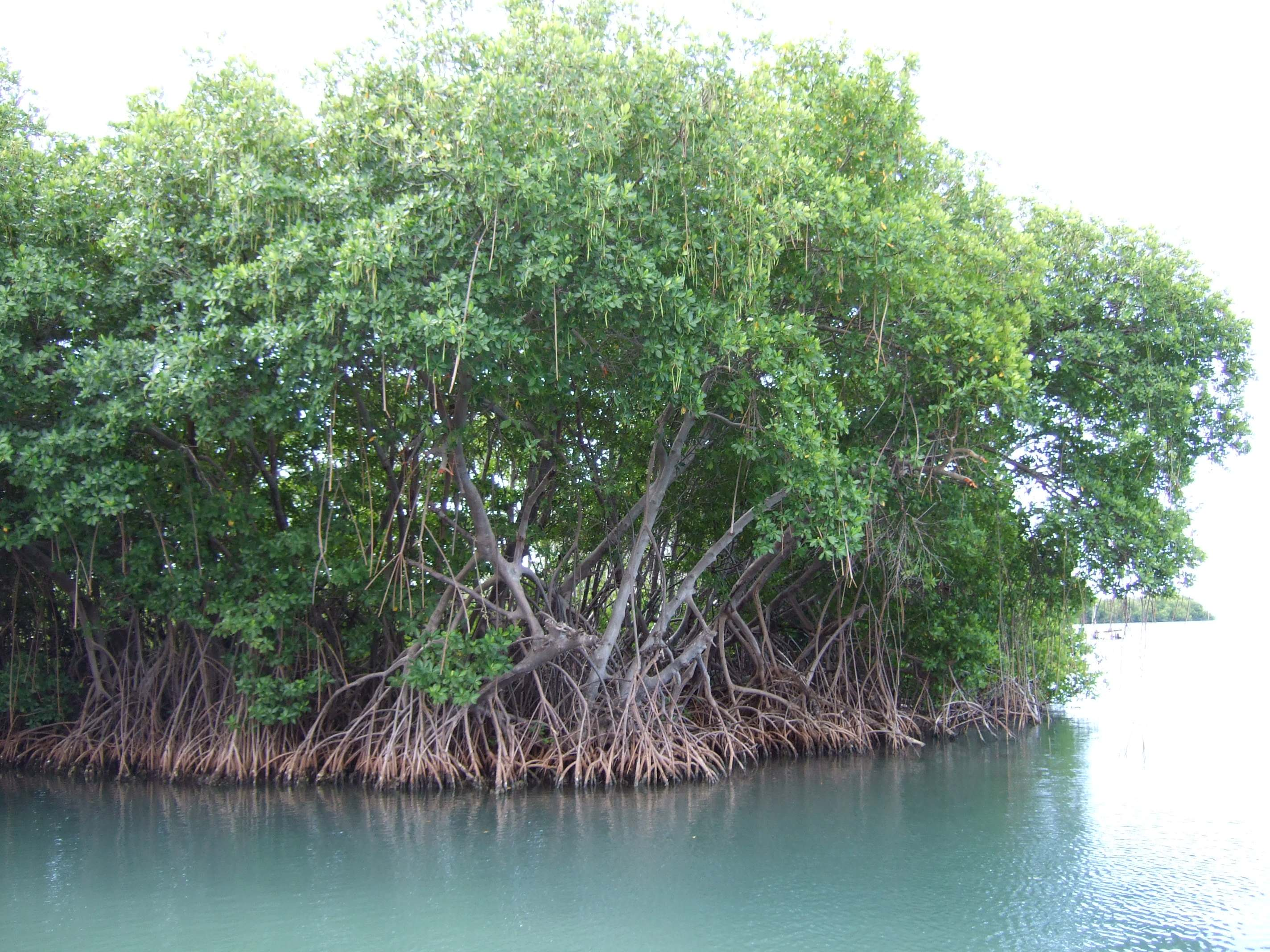 Mangroves Photos Of Plants And Animals  Smithsonian