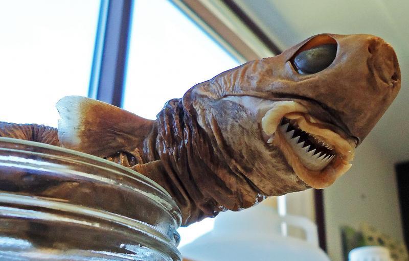 A preserved cookie cutter shark, in a jar.