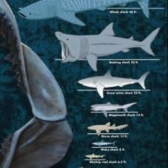 Great White Shark Food Chain Diagram Of Types Teeth Sharks Smithsonian Ocean Sizes Whale 46 Feet Basking 33