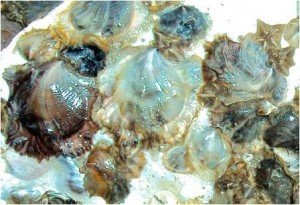 Spat is oyster larvea that attaches to the substrate
