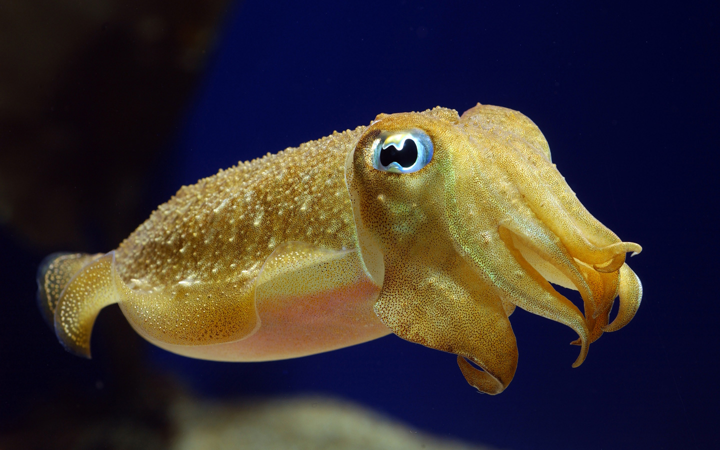 Cuttlefish camouflage: A new method for studying the masters of disguise | oceanbites