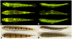 Figure 4: Top panel: Interspecific variation in fluorescent emission pattern (from top: lateral, ventral, and dorsal views) in two congeneric and sympatric members of the lizardfish genus Synodus. A, S. synodus. B, S. saurus. Bottom panel: Interspecific variation in coloration and pigmentation pattern under white light (top: lateral; bottom: dorsal) in same two congeneric and sympatric members of the lizardfish genus Synodus. A, S. synodus. B, S. saurus.