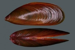 Figure 2: Brown Mussel (Source: http://globalspecies.org)