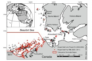 Locations of ringed seal pups killed by polar bears in the Beaufort Sea, Canada.