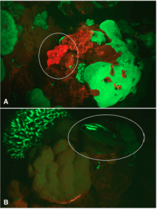Figure 2. Images of reef fish fluorescing in their natural habitat at night, as recorded with a filtered lens by Sparks et al.