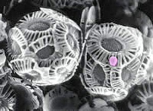 Figure 3. A coccolithovirus (pink dot) infects an Emiliana huxleyi cell.