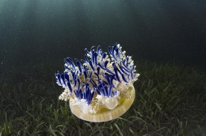 Fig 4: An upside-down jellyfish, Cassiopea spp. (Source: Keys Field Guide)