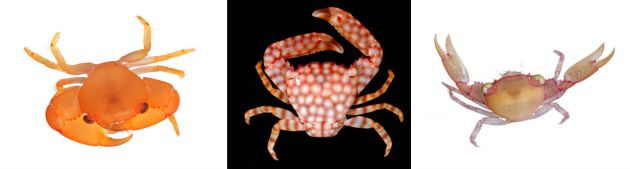 Three guard crabs: T. biodentata, T. flavopunctata and T. serenei are shown.  Photo credits: David Liittschwager left and right, Seabird McKeon, middle)