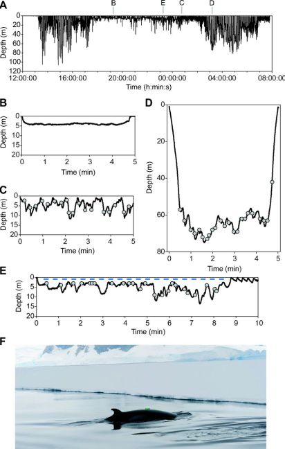 Figure 4. Time-depth profile for the feeding performance of an Antarctic minke whale (A) the whole dive, (B) a shallow non feeding dive example, (C) short surface dive, (D) long shallow dive, (E) long deep dive, (F) a tagged minke whale diving under the ice (Friedlaender et al. 2014).