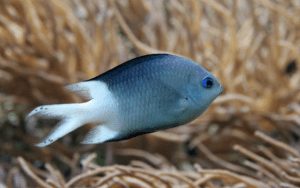 Spiny Chromis