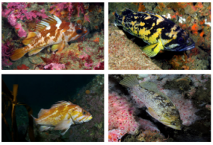 Image 1: Rockfish in study.  Clockwise from top left: Gopher rockfish, Black-and-Yellow rockfish, Kelp rockfish (Credits: Kevin Lee) and Copper rockfish (Credit: Clinton Bauder).