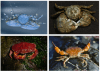 Crabs in study.