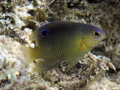 Intermediate phase Beagregory Damselfish (Stegastes leucostictus) Photo Source: http://www.fishbase.us/Photos/PicturesSummary.php?ID=3651&what=species
