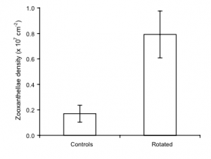 Fig 4. This figure shows the density of symbiotic zooxanthellae. The rotated corals had almost 4 times as much.