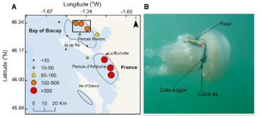 Figure 1. Map of the Bay of Biscay in France (1A) that was used as the study site. The colored circles correspond to the distribution and abundance of Rhizostoma octopus jellyfish on August, 22, 2011. Dotted lines highlight areas with especially dense aggregations of jellyfish and the solid box indicates the area where boat transects were conducted. 18 Rhizostoma octopus jellyfish were equipped accelerometer data loggers (1B) to investigate jellyfish activity in relation to tidal currents.