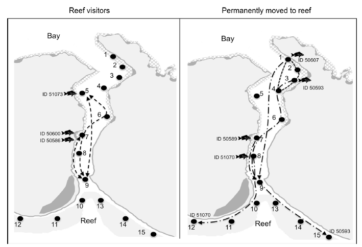 Fig. 3. Summary of the movements of the 7 fish that moved toward the reef. The left image shows the three that visited the reef (pinged in the bay both before and after pinging on the reef or at station 9—mouth of bay). The right image shows the movements of the four that permanently moved to the reef (no pings at receivers in the bay after detection on the reef or at the mouth of the bay).