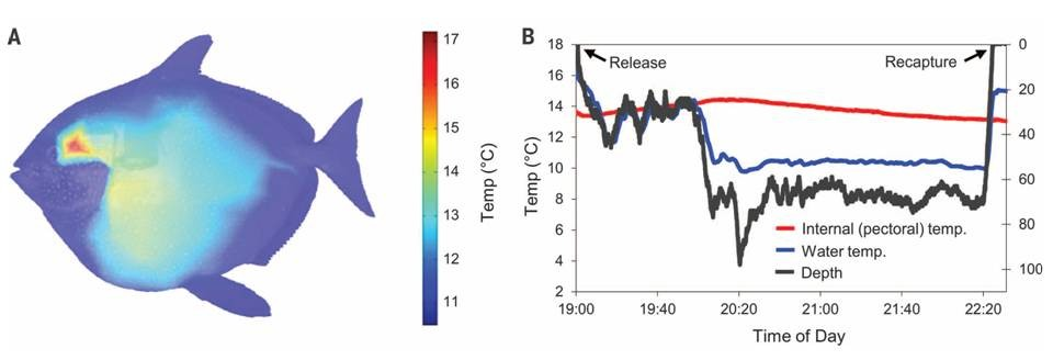 The first evidence of a warm blooded fish oceanbites for Temperature for fish