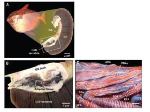 Figure 3: Close up of the gills of an opah. A) shows a single gill arch. The close up in B) shows the thick blubber (adipose tissue) surrounding the gills. C) shows the rete mirablie with interwoven cold blood vessels (red - oxygenated) and warm blood vessels (blue - deoxygenated)