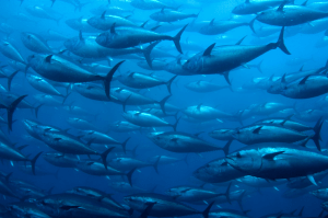 Fig. 1: A school of bluefin tuna (Thunnus thynnus) (iss-foundation.org).