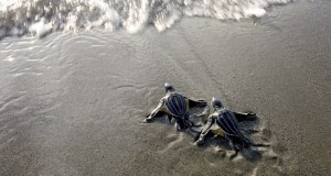 Figure 1: Newly hatched leatherback turtles entering the ocean for the first time (http://www.storyofsize.com/2013/12/02/sizingseaturtles/).