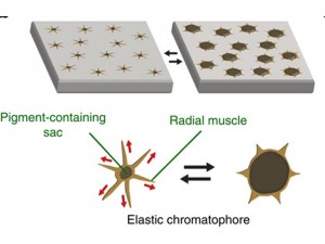 Figure 2: Schematic showing how chromatophores are able to change color by contracting to reduce skin pigmentation (left image) and expanding to increase pigmentation (right image). Source: Wang, et al., 2014. Cephalopod-inspired design of electro-mechano-chemically responsive elastomers for on-demand fluorescent patterning. Nature Communications. 5(4899) doi:10.1038/ncomms5899-