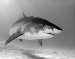 Fig. 3: A tiger shark (Galeocerdo cuvier).