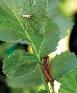 Fig. 1: A grasshopper must decide between risking predation and eating a preferred food (Bob Handelman).