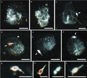 Figure 2 Images that Nishibe et al. captured using the Video Plankton Recorder off the coast of Japan. Panels a and b show discarded appendicularian houses. c-f  are examples of copepods attached to the houses (arrows highlight the copepod). g-j are images of free swimming copeopods. Scale bars all equal 1 mm. (Adapted from Nishibe et al., 2015)