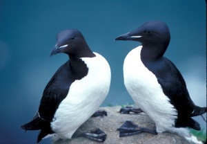 """""""Thick-billed Murres in Alaska refuge"""" by Sowls, Art - U.S. Fish and Wildlife Service"""