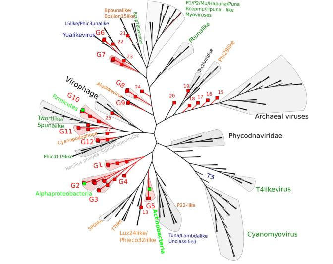 Figure 3. Phylogenetic analysis of sequenced viral DNA and non-viral DNA from cryoconite water samples. Red branches and boxes represent virus sequences from cryoconite water. Dark green text represent Myoviridae, orange – Podoviridae, blue – Siphoviridae, which were the three families that most of the cryoconite viruses fall into. Light green boxes and text represent potential hosts of the viruses. Viruses and potential hosts are typically located very close to each other since genome similarity helps facilitate viral infection or host defense.