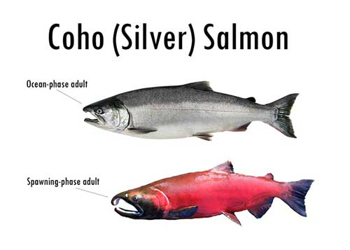 Cohos In Dirty Water Salmon And Pollution Oceanbites