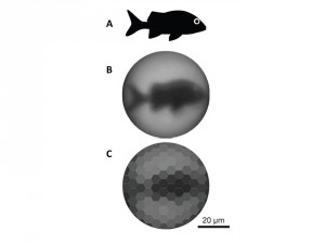 Figure 3: The resolution capability of the chiton eye. A. shows the plain image of the fish projected through the chiton's lens. B. shows the image the aragonite lens is capable of producing. C. shows the likely image the chiton is able to see based on the lens structure and the spacing of light sensitive tissue.
