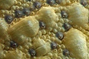 Figure 2: A close up of a chiton shell showing the minute eyes (the dark circles). Image credit: Li et, al. 2015.