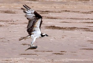 Figure 4: A fish hawk catching dinner.