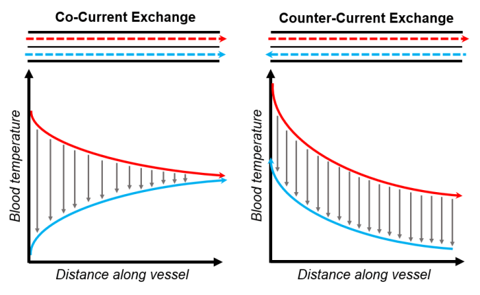 Fig. 3. Counter-current exchange systems, like in rete mirabile, are more efficient than co-current systems because they maintain a concentration gradient over the entire length of the vessel. Graphs by B.G. Borowiec.