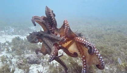 Octopuses fight