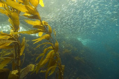 Pacific sardines live in a sensitive coastal ecosystem. Recently warm winter waters on the US west coast have caused many sardines to seek more northern, colder waters. Credit: NOAA's National Ocean Service.
