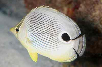 Four-Eye Butterflyfish. Source: Laszlo Ilyes, uploaded by Jacopo Werther, available from Wikimedia Commons