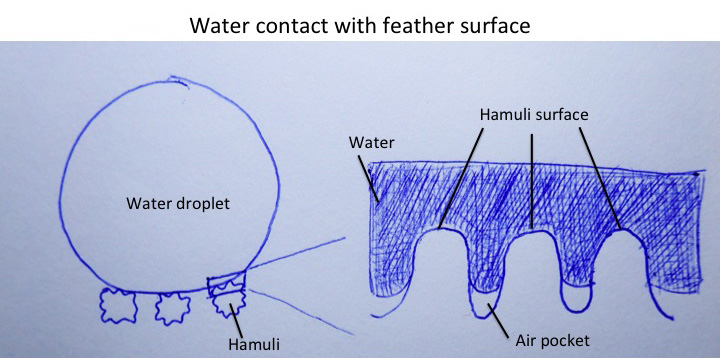 Schematic diagram of water contact with feather surface. (Image Credit: terrible drawings by the author)